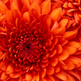 Medium_chrysanthemum
