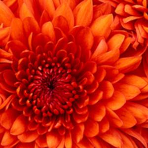 Profile_chrysanthemum