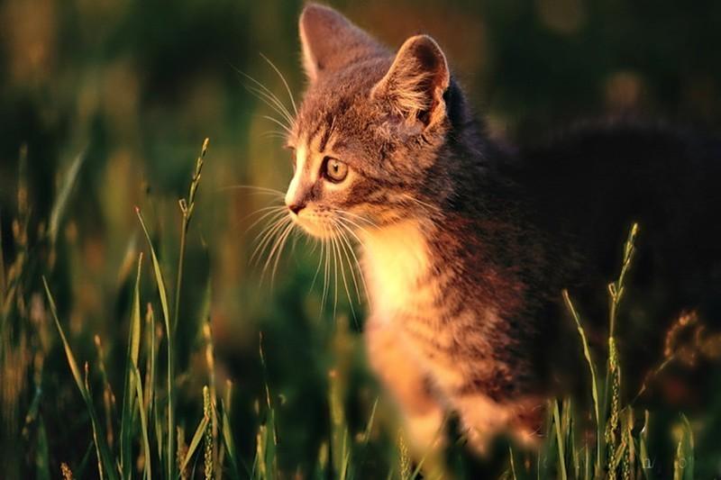 Cats-cool-kitty-hot-sun-grass-sunlight-adorable-light-cats-sunrays-cute-grasses-tiger-calico-kitten-pets-hd-background