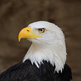 Medium_bald_eagle_portrait